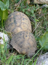 Herzegnovian turtles